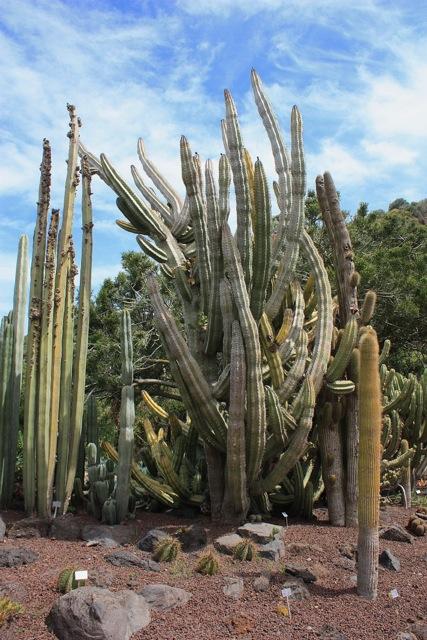 Jardin botanico canario der botanische garten der for El jardin canario